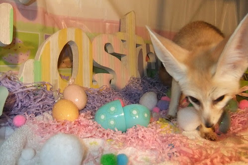The Easter Fennec