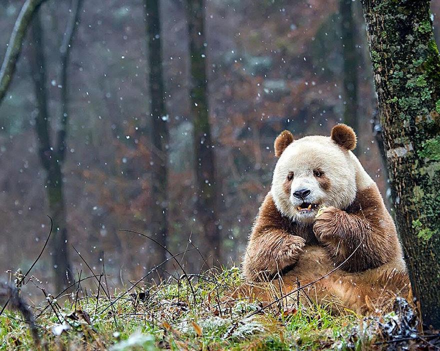abandonou-brown-panda-qizai-15