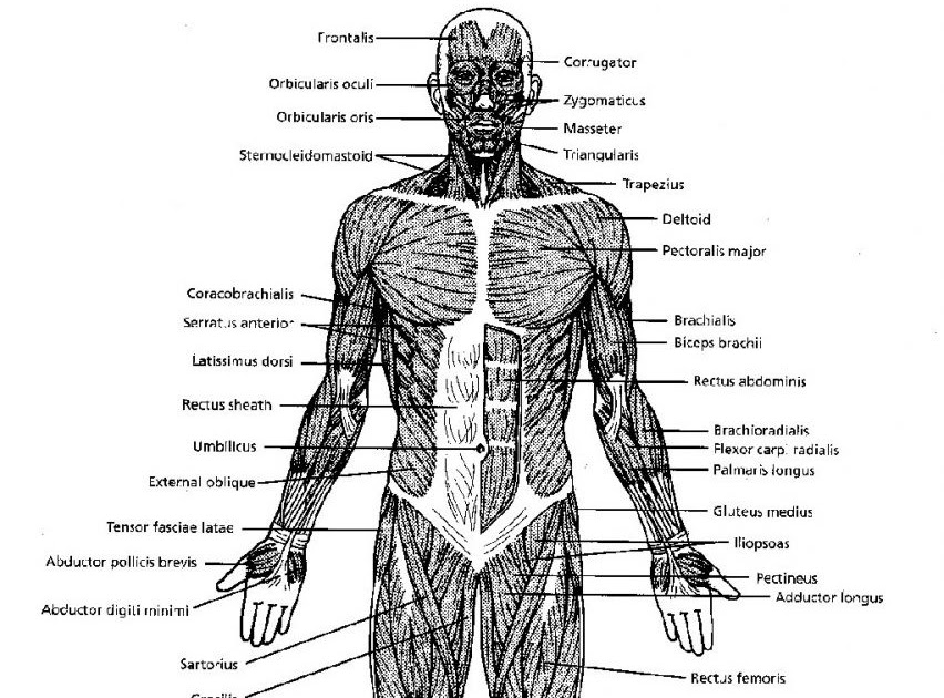 25 Blank Muscle Diagram To Label - Wire Diagram Source ...