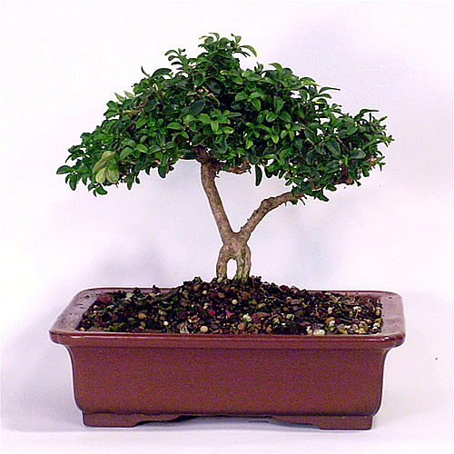 Bonsai Tree Names Bonsai Tree