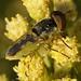 Hedriodiscus binotatus, Soldierfly