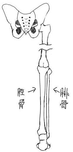 スネふくらはぎの筋肉 イラストのはなしをしよう