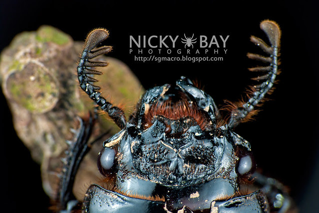 Bess Beetle (Passalidae) - DSC_5366