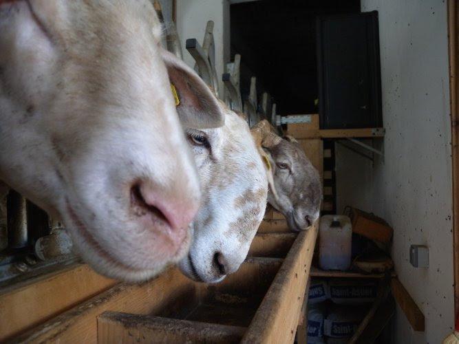 La brebis brigasque sauvée par des éleveurs passionnés