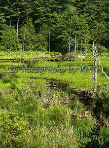 a new england green swamp in the spring