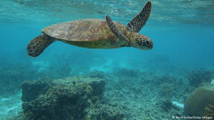 Tartarugas-de-pente se alimentam principalmente de esponjas encontradas em fendas de recifes