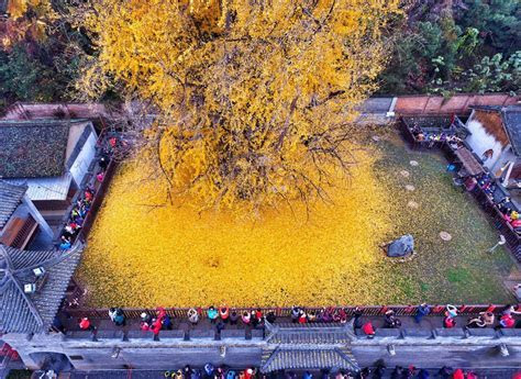 1,400 Year Old Chinese Ginkgo Tree Is Drowning A Buddhist