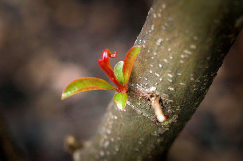 Pomegranate budding
