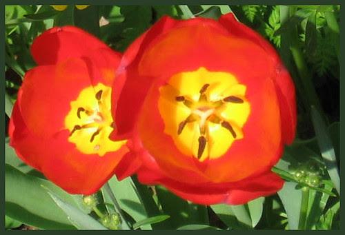 29 tulip mandala