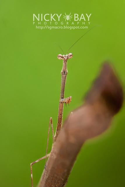 Stick Mantis? (Mantodea) - DSC_7070