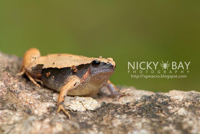 Dark-sided Chorus Frog? (Microhyla heymonsi) - DSC_4872