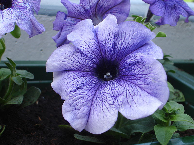 File:Purple Petunia.jpg