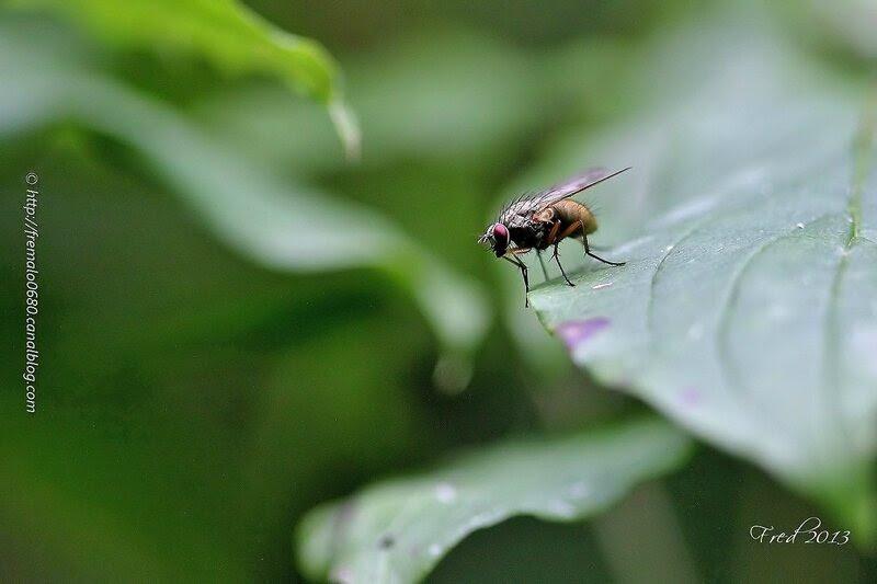 Diptera indéterminé