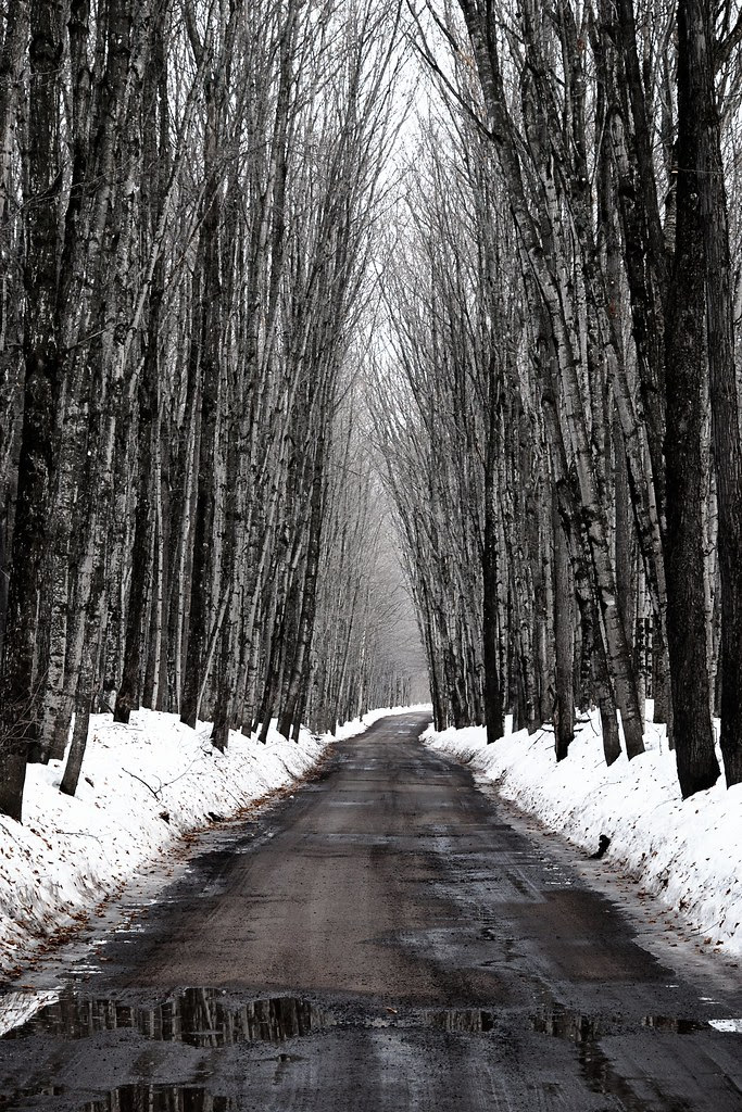 Tall trees arching over a dirt road, with snow and puddles.