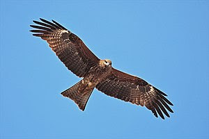 Black Kite, (Milvus migrans), taken in Kathman...