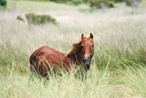 Banker pony at Cape Lookout National Seashore.