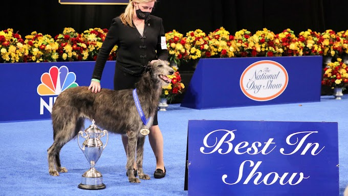 TREND ESSENCE: National Dog Show results: Scottish deerhound takes best in show, but tiny pup Chester wins Twitter's heart