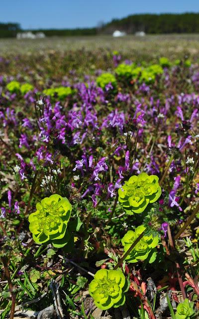 Euphorbia (2)