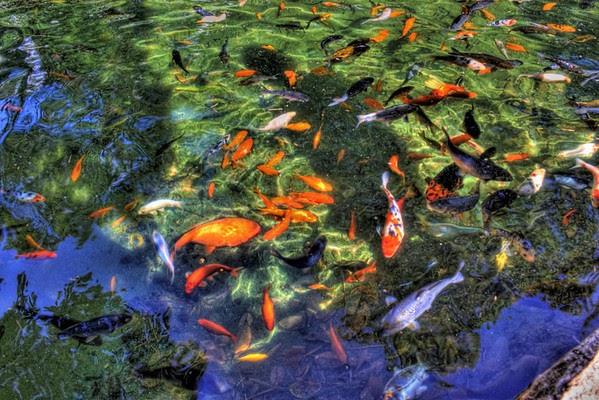 Brian moran hdr photography koi at japanese tea garden for Koi japanese garden screensaver