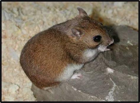 Fossorial giant rat
