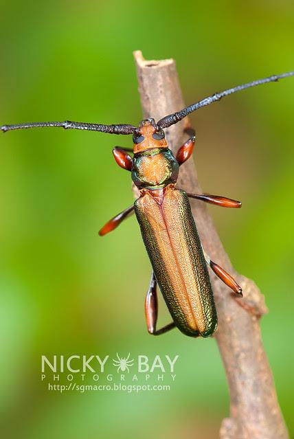 Longhorn Beetle (Xystrocera festiva) - DSC_8181