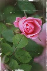 Roses: antique 4