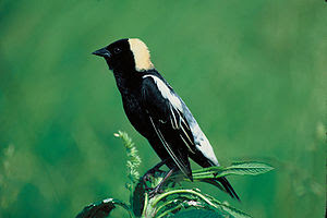 Large numbers of Bobolinks pass through in Sep...