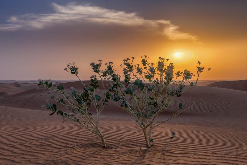 Desert Rose, Dubai