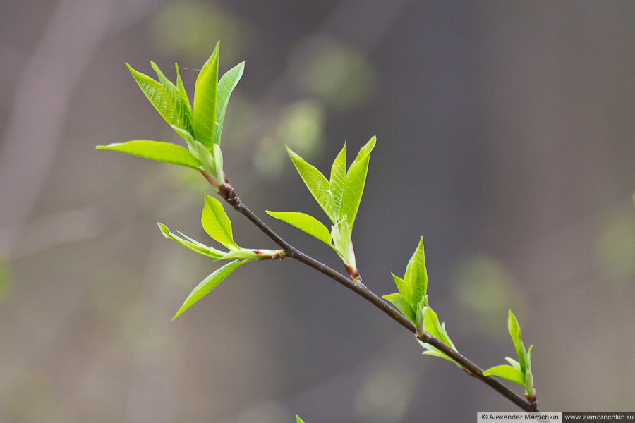 Молодые листья