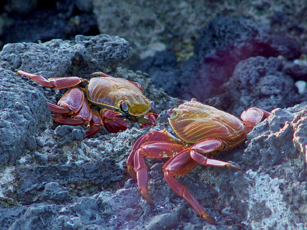 DSC00831 two sally lightfoot crabs