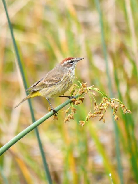 Ed Gaillard: birds &emdash; Palm Warbler, Green Cay