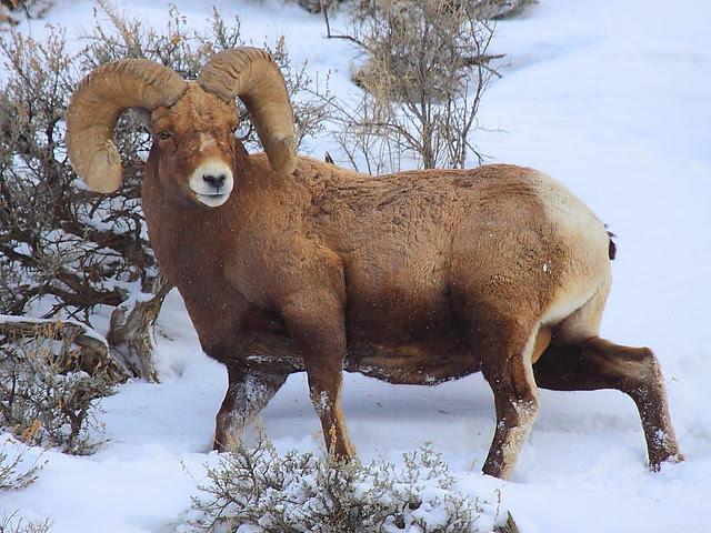 IMG_5036 Bighorn Sheep, Yellowstone National Park