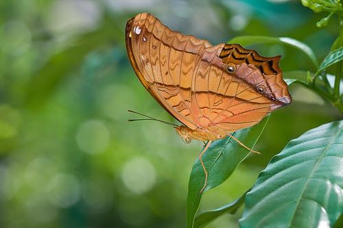 <br>Vindula dejone erotella (The Cruiser) butterfly IMG_0143 copy