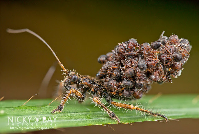 Ant-Snatching Assassin Bug (Acanthaspis sp.) - DSC_0750