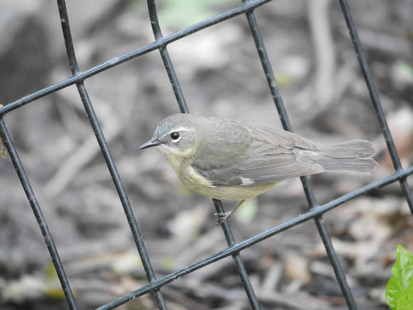 Ed Gaillard: birds &emdash; Black-Throated Blue Warbler (female), Tanner's Spring, Central Park