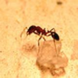 photo of a sugar ant (pharaoh ant) sitting on a sugar crystal