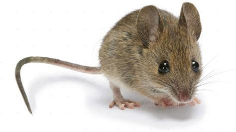 Mice: How to Identity and Get Rid of Mice in the Garden and Home   The Old Farmer's Almanac