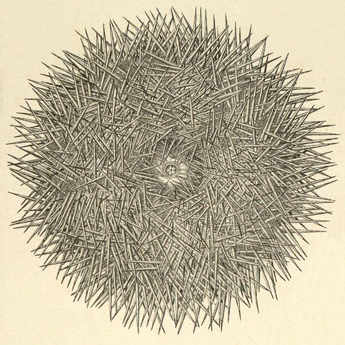 detail - Agassiz - sea urchin