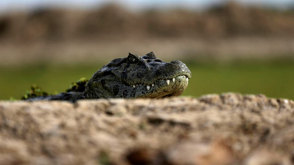 Un caimán a la orilla de una laguna que no recibe agua a causa de la sequía.. Foto: Reuters / Jorge Adorno