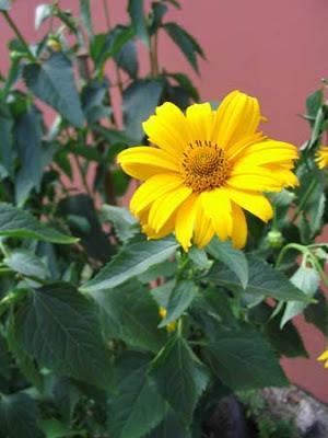 Лекарственные растения - Топинамбур