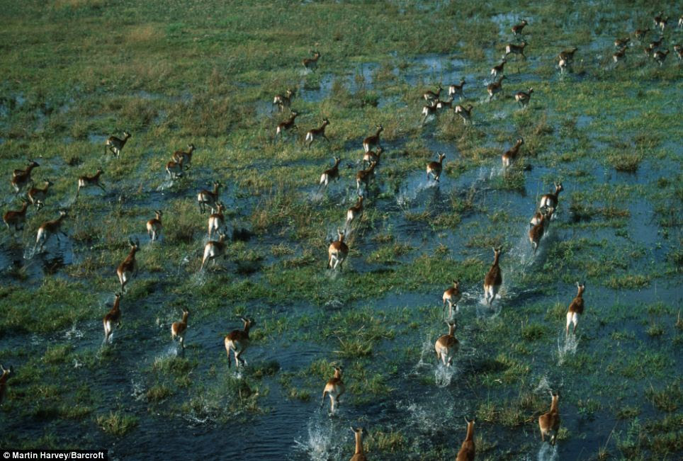 Spectacular sight: Photographer Martin Harvey has described witnessing the movements of large groups of African animals from the air as 'awe-inspiring'