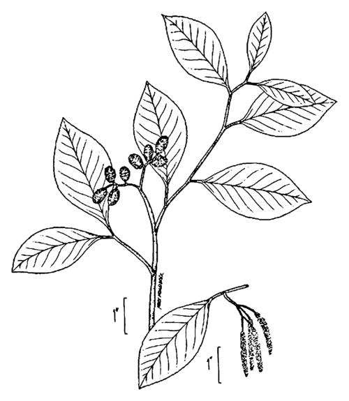 Alnus serrulata drawing