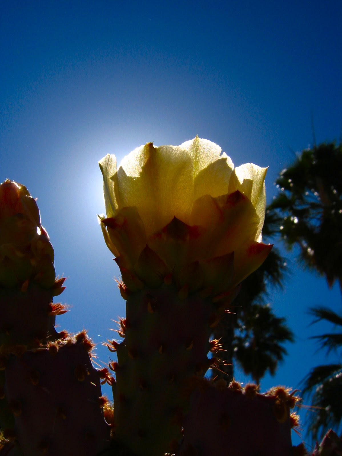 Pear Cactus Flower backlit by Sun. Photo - soul-amp.com