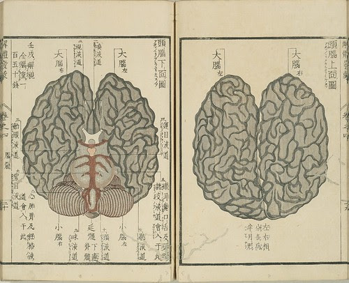 Kaitai Hatsumou - brain section diagrams