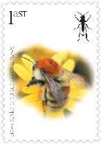 Brown-banded carder bee (Bombus humilis) - a beautiful bumblebee that has declined massively in the UK and is now in a perilous position