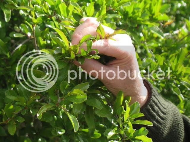 Tel Shiloh, Pomegranate Bud