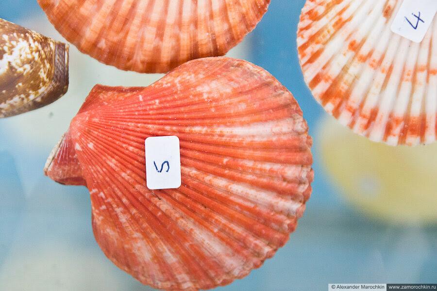 Красная раковина моллюска в музее ракушек Корфу