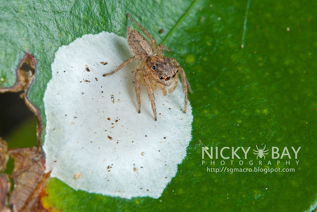 Jumping Spider (Salticidae) - DSC_5947