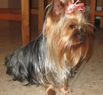 http://www.dogbreedinfo.com/images23/YorkieYorkshireTerrierLiliDog5.jpg