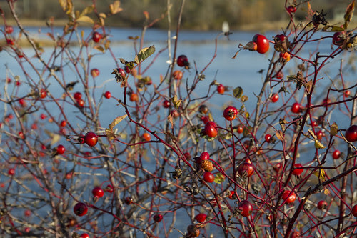 rose hips and sunshine